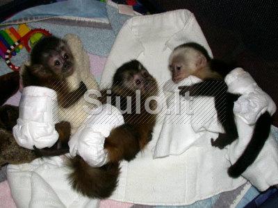 Mielas beždžionė Chimp kūdikiai ir kūdikiams