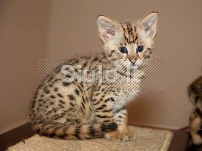 Gražios Savana kačiukai