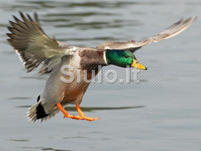 Alpha Spirit Free Range Duck 12kg