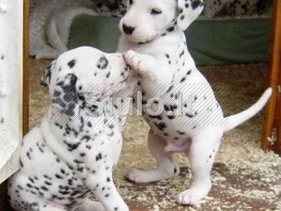 Dalmatijos šuniukai