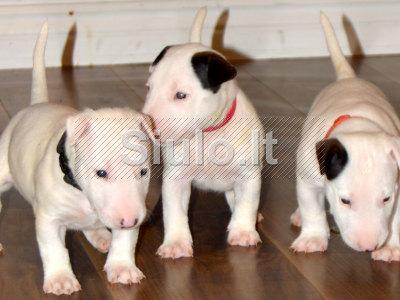 Bulterjeras šuniukai