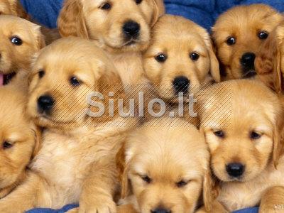 puikus Auksaspalvis retriveris šuniukai