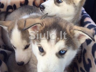 Sibiro haskis šuniukai dovan