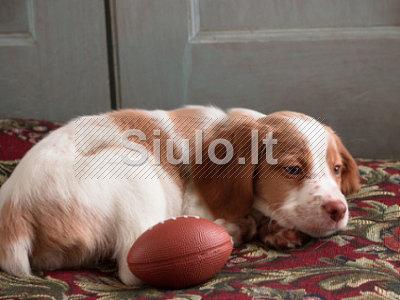 Bretonų parduoti šuniukai lenktynes