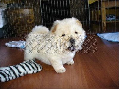 Čiau Čiau šuniukus įspūdingas