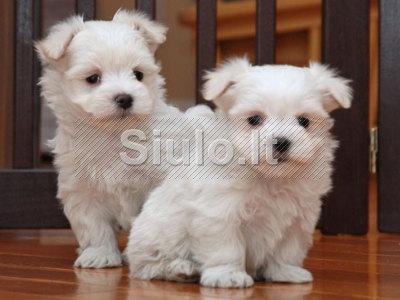Brangieji šuniukai Maltiečių Bichon