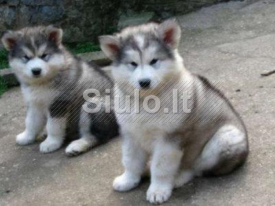 Aliaskos Malamutas šuniukai Vyrai ir moterys