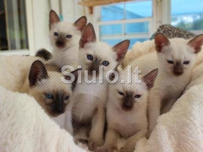 Siamo kačiukai įvaikinimo