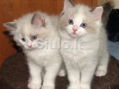 Gražus kačiukai ragdoll