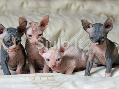 Sfinksas kačiukai brangus