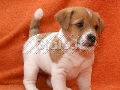 Jack Russell Terrier šuniukai