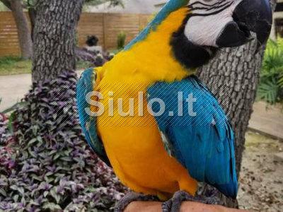 Mėlyna ir auksinė Macaw paukščiai