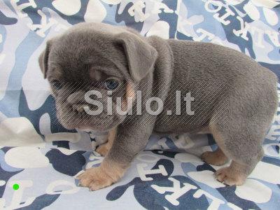 kokybiškas prancūzų buldogas šuniukas