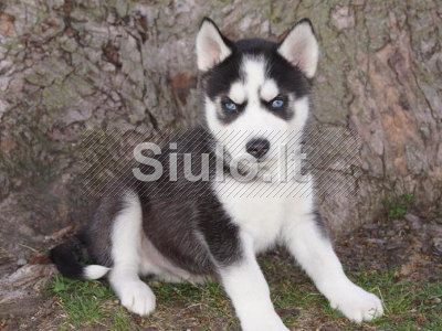 Puikus Sibiro haskių šuniukai