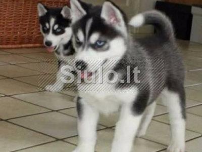 Sibiro Husky šuniukai