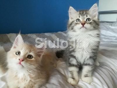 Puikus Sibiro kačiukai