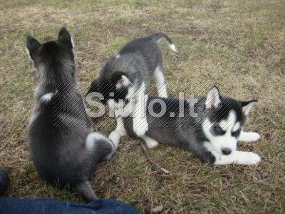 Parduodamos žavinga Sibiro Husky pupelės