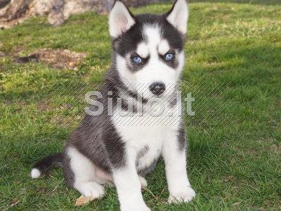 Saldžiosios Sibiro Husky šuniukai