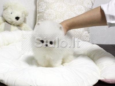 Sveiki Pomeranijos šuniukai, kuriems reikia namų